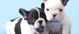 bouledogue - bulldog francese bianchi e neri cuccioli