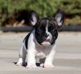 Bulldog Francesi di Colorazione Rara