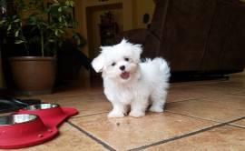 Bellissimi cuccioli maltesi