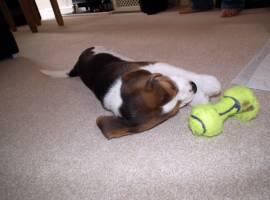 Fantastici cuccioli Beagle di 2 mesi