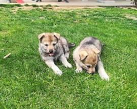 Bellissimi Cuccioli di lupo Cecoslovacco