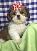 Cuccioli di Shih Tzu adorabili
