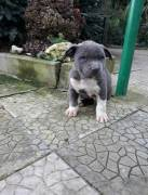 Cuccioli Amstaff Blu Grigio