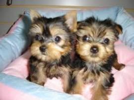 Adorabili cuccioli di Yorkshire
