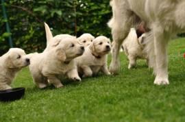 Cuccioli Di Golden Retriever Maschili E Femminili
