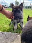 Vendita cucciolo pastore tedesco