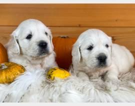 Vendita cucciolo cuccioli golden linea chiara inglese