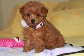 splendida cuccioli barboncino toy