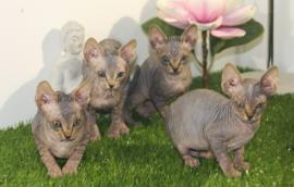 Gattini di Canadian Sphynx