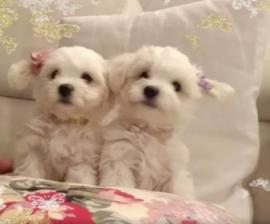 Cuccioli maltese toy