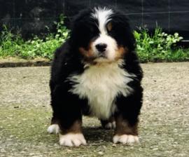 Disponibili cuccioli BOVARO DEL BERNESE