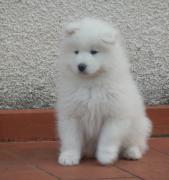 Cuccioli di Razza Samoiedo