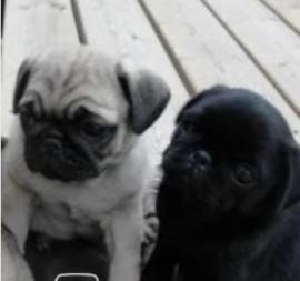 cuccioli di carlino