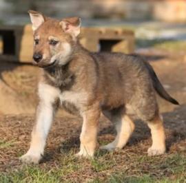 cuccioli cane lupo cecoslovacco con pedigree