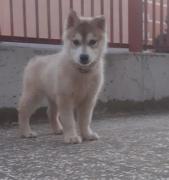 Ultima cuccioli di Siberian Husky