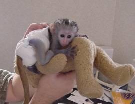Scimmia di uistitì pigmeo per adozione