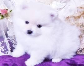 Vendita cucciolo cuccioli di volpino di pomerania toy