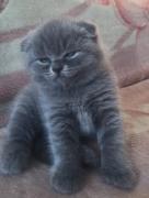 Gattino di Scottish Fold