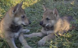 Bellissimi cuccioli di cane lupo cecoslovacco