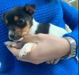 Dispongo cuccioli di Jack Russell Terrier