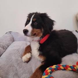 Vendo cuccioli di montagna bernese