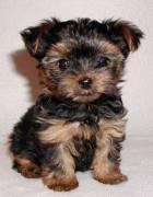 Vendita cucciolo yorkshire terrier