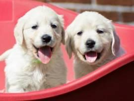 Cuccioli di Golden Retriever disponibili ora