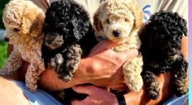 Simpatici cuccioli di barboncino in vendita