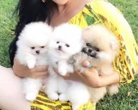 Disponibili cuccioli di Pomerania.