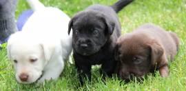 Eccezionali cuccioli di Labrador Retriever