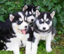 Disponibili cuccioli di Siberian Husky sani