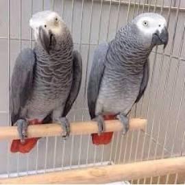 Papagalli Cenerino