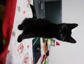 Regalo una gattina nera di 6 masi