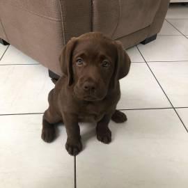 Graziosa cucciola di Labrador femmina