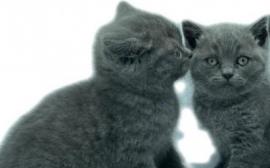 Gattini British shorthair blue