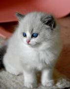 Meravigliosi gattini Ragdoll