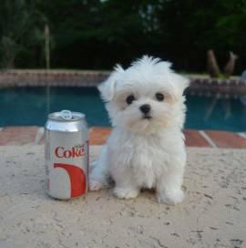 Regalo adorabili cuccioli maltese femminucce e maschietti disponibili