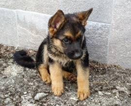 Vendita cucciolo cucciole di pastore tedesco