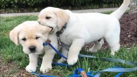 Vendita cucciolo vendo cuccioli di labrador