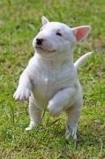 Vendita cucciolo cuccioli di bull terrier in miniatura