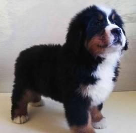 Vendita splendidi e maestosi cuccioli bovaro del bernese