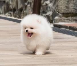 Vendita regalo cuccioli di volpino di pomerania mini toy