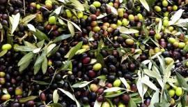 Olio Extravergine di oliva BIO della Tuscia (Viterbo) raccolta dicembre 2020