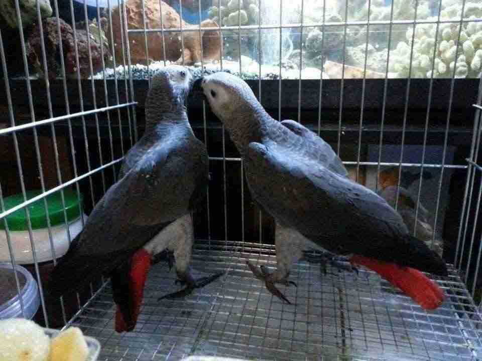 allevamento del pappagallo cenerino