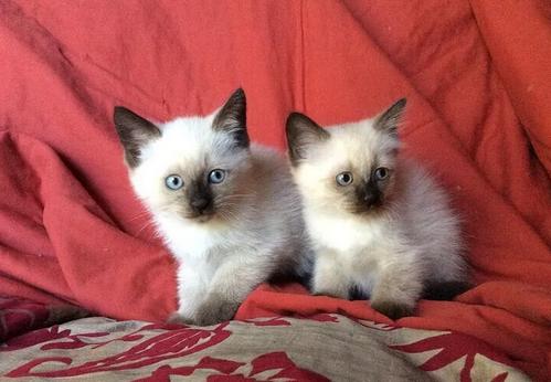 Cuccioli di SiameseThai maschi e femmine