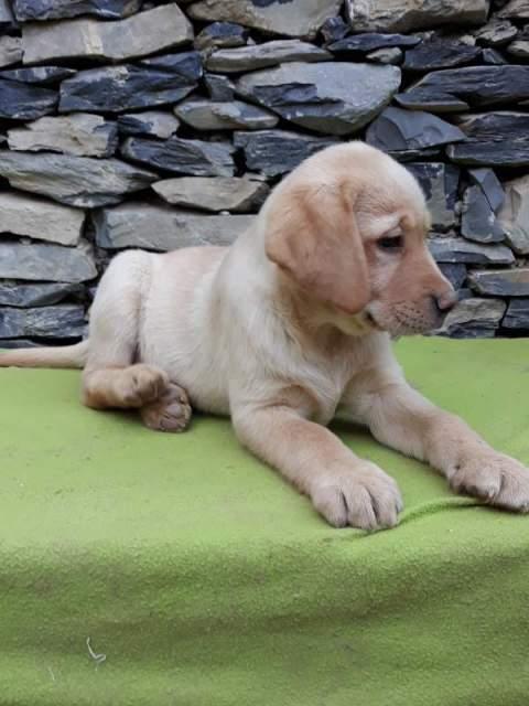 Cuccioli di labrador retriever pedigree Enci e test sanitari