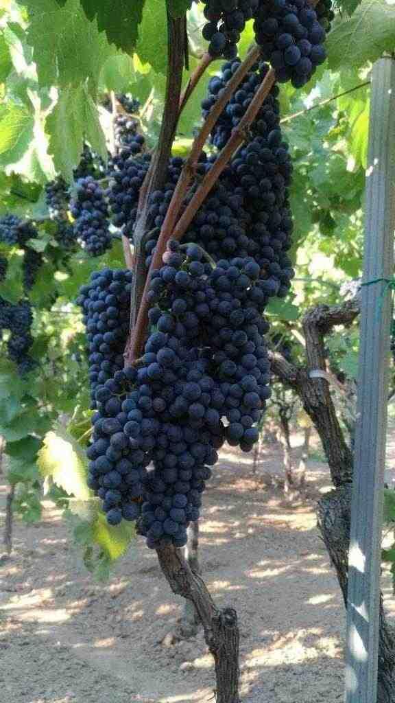 Uva a bacca rossa, Montepulciano d'Abruzzo, Lambrusco