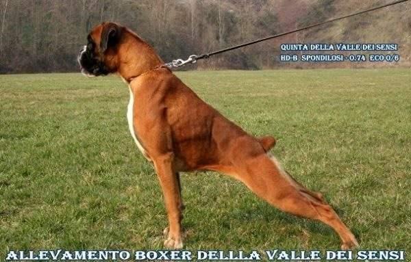 ALLEVAMENTO BOXER DELLA VALLE DEI SENSI - VENDITA CUCCIOLI BOXER-ALLEVAMENTI BOXER VENETO