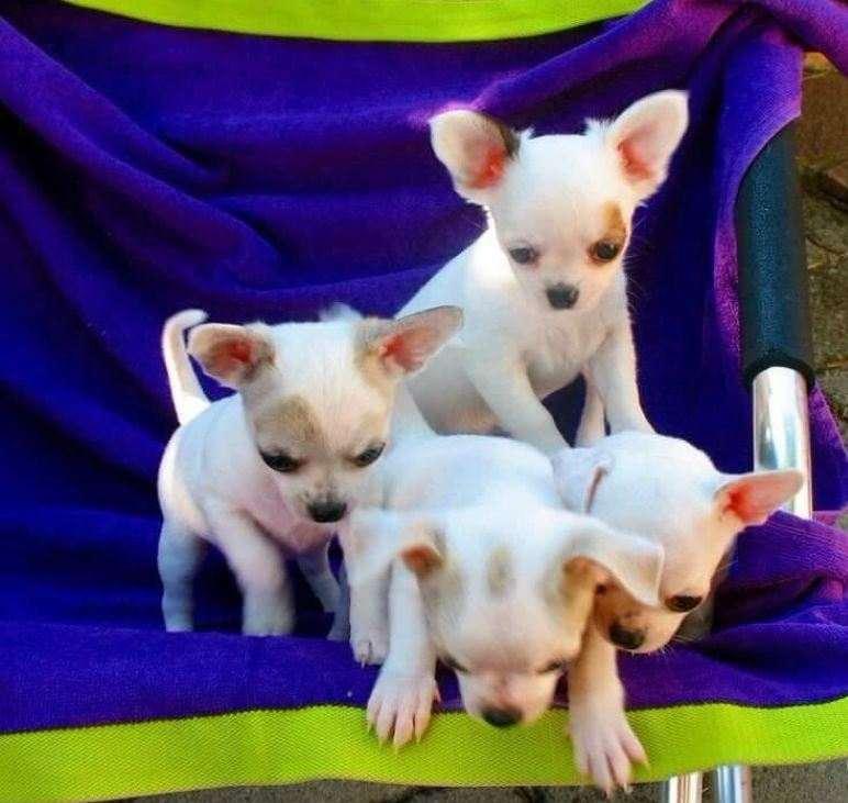 Cuccioli di chihuahua toy cc