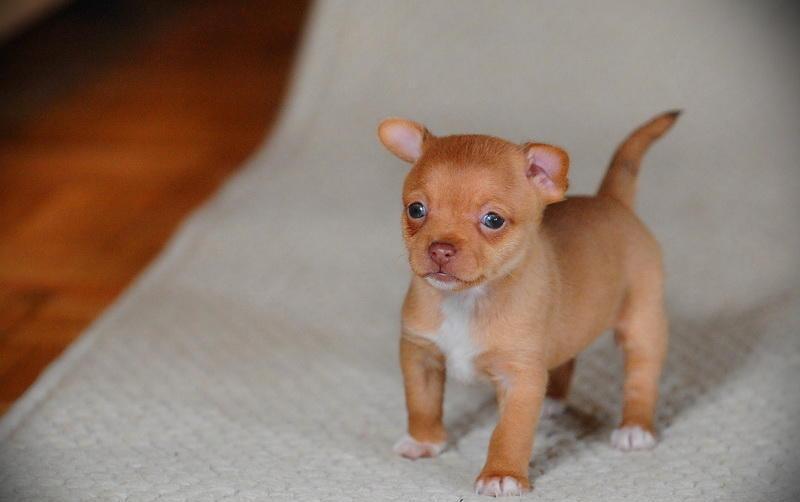 REGALO Cucciolo Chihuahua con pedigree!!!!